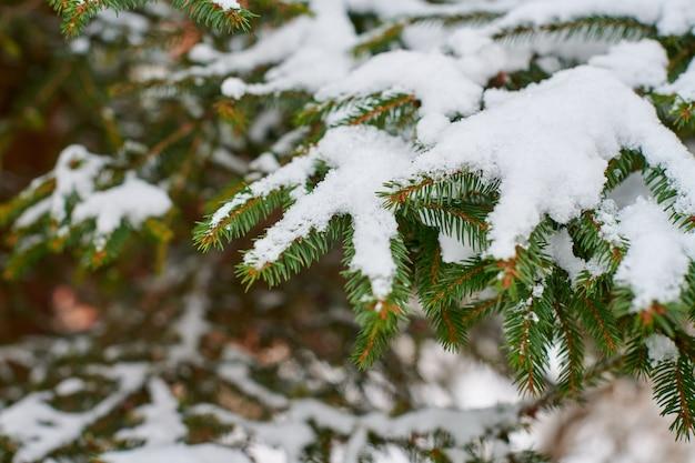 Naaldboomtak bedekt met sneeuw in de winter. fir-tree bevroren takken voor nieuwjaar.