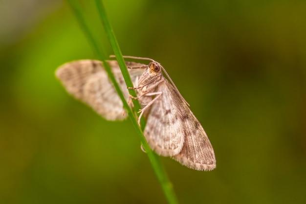 Nachtvlinder zittend op een grasstok