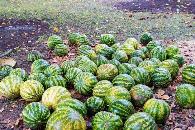 Namy rijpe watermeloenen liggen op de grond