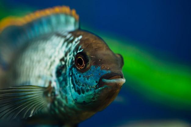 Nannacara. blauwe aquariumvissen op algen. cichliden.