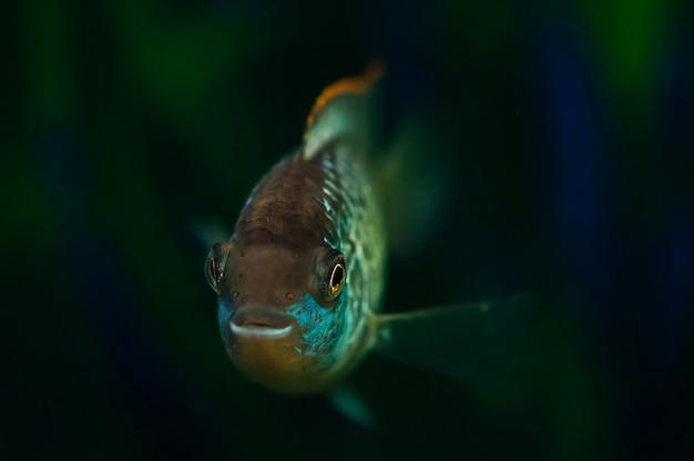 Nannacara. blauwe aquariumvissen op een achtergrond van algen. cichliden.