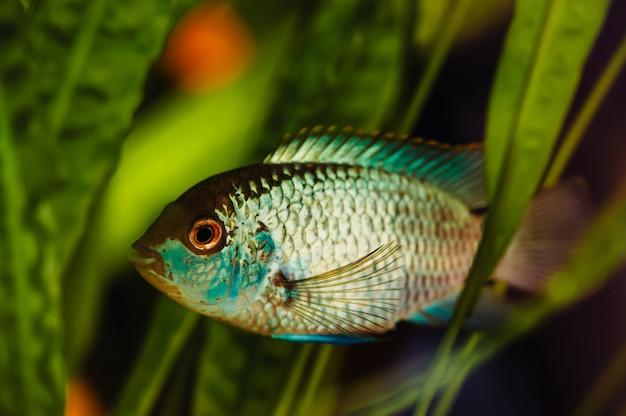 Nannacara. blauwe aquariumvissen op zeewier.