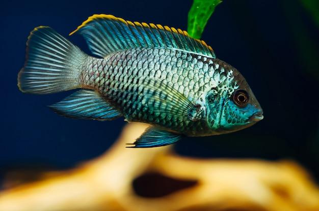 Nannacara. blauwe vis in decoratief schip. keramiek. geel.