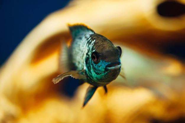 Nannacara. blauwe vis op de achtergrond van een decoratief schip.