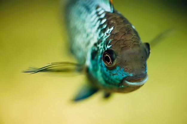 Nannacara. blauwe vis op een licht