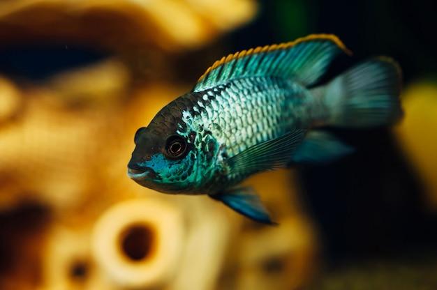 Nannacara blauwe vis.