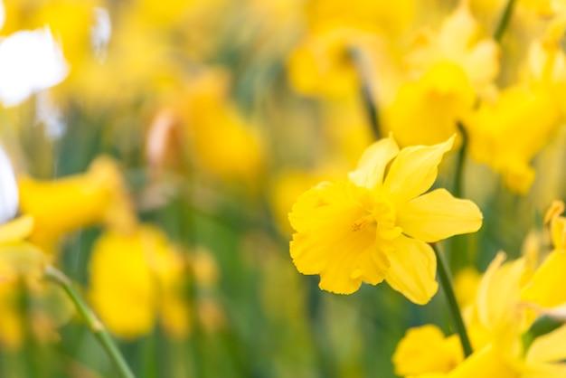 Narcissen bloemen bloeien in het voorjaar bloementuin met groene natuur.