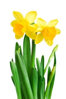 Narcissen in groen gras over wit