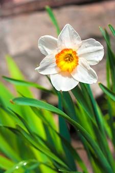Narcissenbloem op de lente