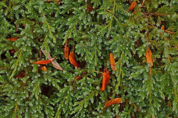 Nasynchronisatiestruik met herfstgebladerte.