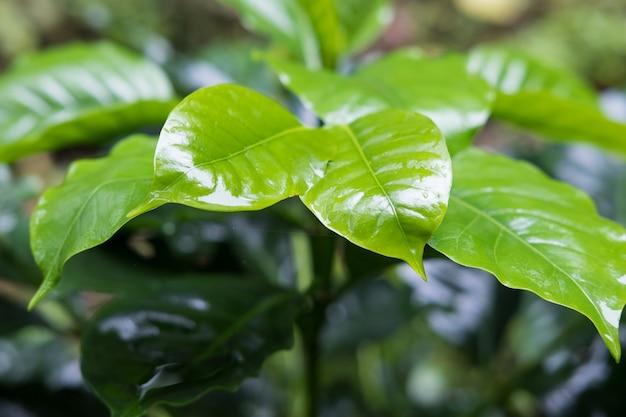 Natte groene bladeren van koffieboom.