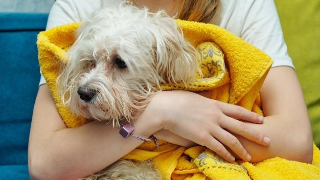 Natte maltese schoothondje in een gele handdoek in de handen van een meisje