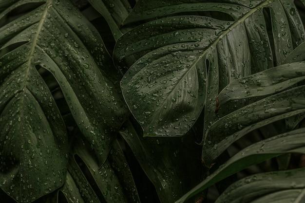 Natte monstera deliciosa plant bladeren in een tuin