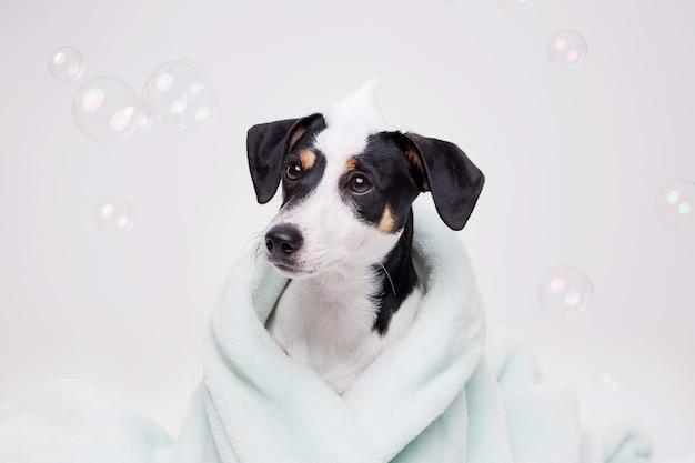 Natte puppy van jack russell terrier na bad gewikkeld in een handdoek. net gewassen hond.