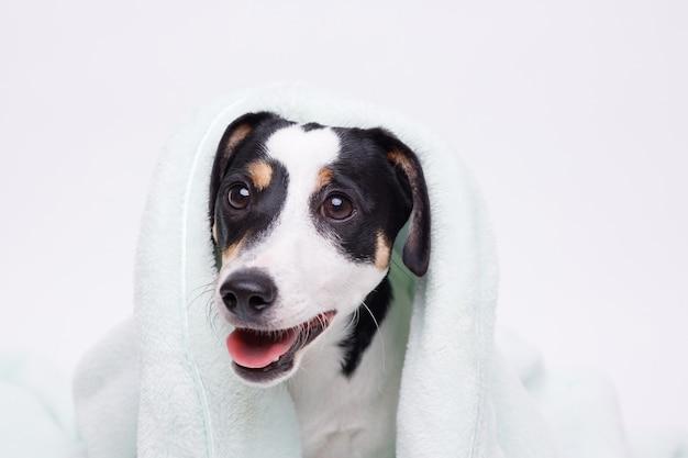 Natte puppy van jack russell terrier na bad gewikkeld in handdoek net gewassen hond