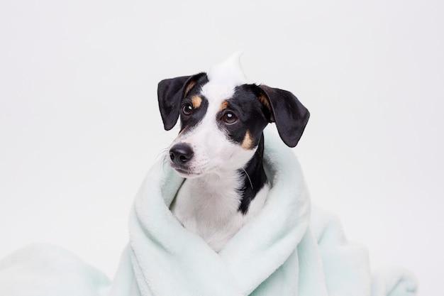 Natte puppy van jack russell terrier na bad gewikkeld in handdoek net gewassen hond Premium Foto