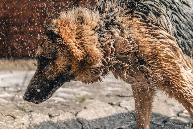 Natte trieste hond. hond na het wassen.