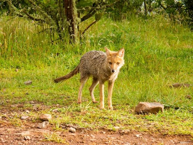 Natte vos in het bos
