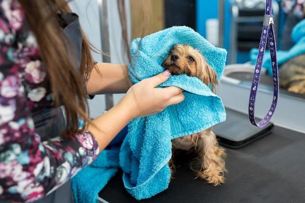 Natte yorkshire terriër gewikkeld in een blauwe handdoek op een tafel bij een dierenkliniek