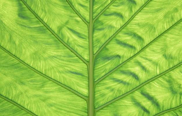 Natuur achtergrond. close-up van groene bladtextuur als achtergrond