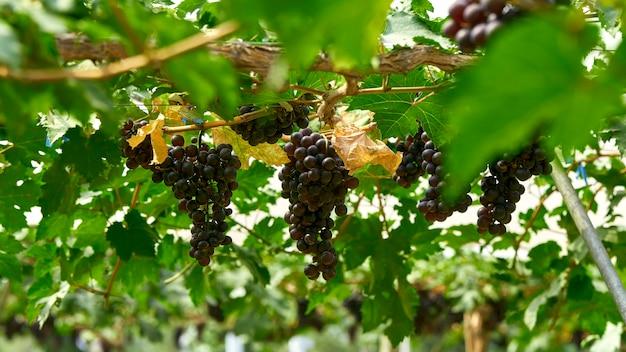Natuur achtergrond outdoor wijngaarden bij zonsondergang