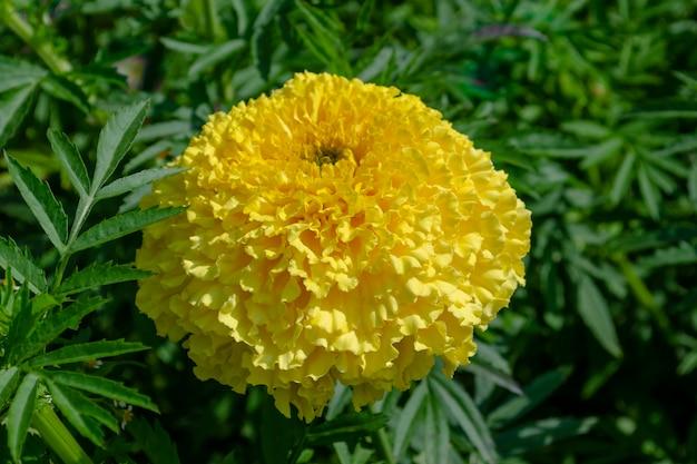 Natuur bloem geel tagetes goudsbloemen.