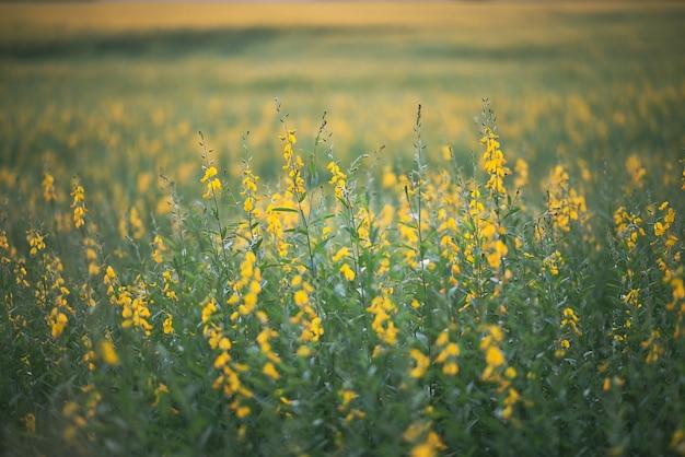 Natuur landschap buiten weide veld van gele bloem in de zomer, mooie bloesem groen gras plant achtergrond met blauwe lucht, platteland land in de lente