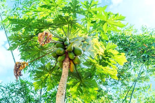 Natuur verse gele papaja op boom met fruit