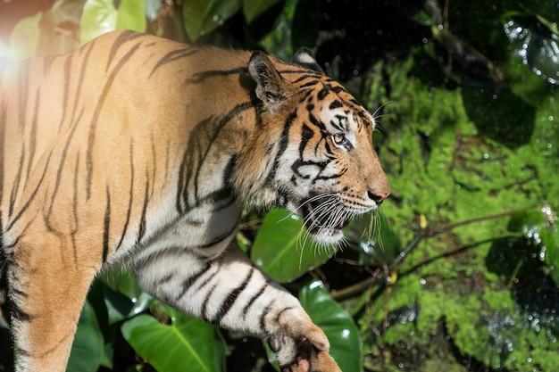 Natuurlijk foto's van tijger.