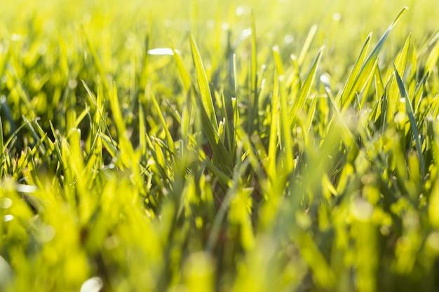 Natuurlijk gras close-up