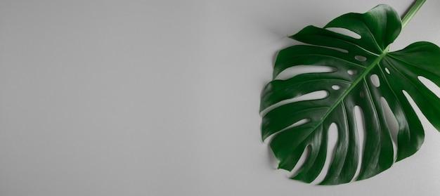 Natuurlijk groen monsterablad dat op grijze abstracte achtergrond wordt geïsoleerd