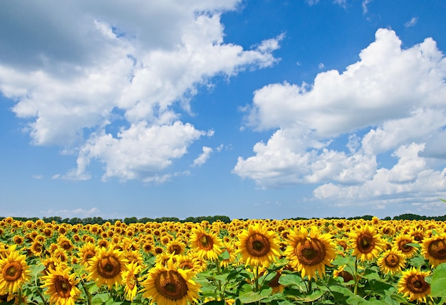 Natuurlijk landschap van zonnebloemen veld op zonnige dag