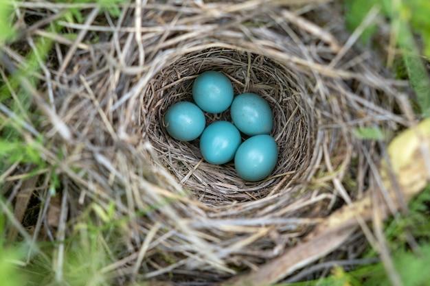 Natuurlijk nest en blauwe eieren van een zanglijster in de wei. uitzicht van boven.