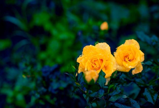 Natuurlijke achtergrond gele rozenstruiken die in de tuin bloeien