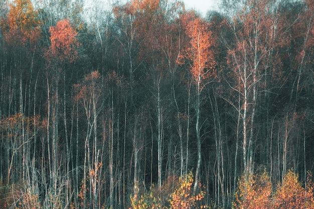 Natuurlijke achtergrond van bos van berkenstammen en herfstbladeren