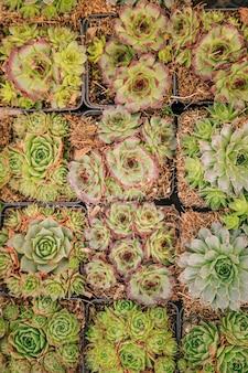 Natuurlijke achtergrond van cactus succulente installatie in pot