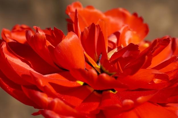 Natuurlijke achtergrond van de lente bloeiende bloemen. veld van rode tulpen.