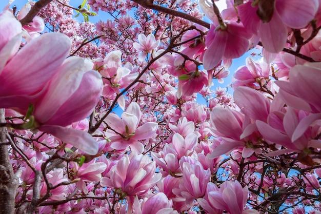 Natuurlijke achtergrond van roze magnolia bloemen