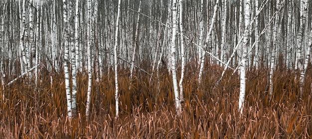Natuurlijke achtergrond, witte berkenbomen in geel de herfstgras.