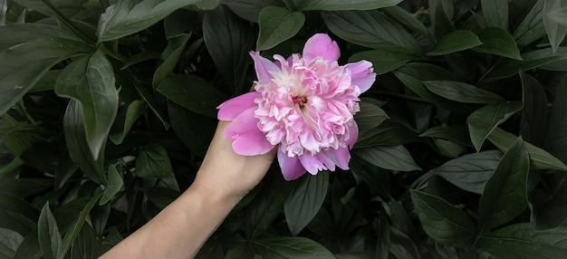 Natuurlijke bloeiende pioenroos onder de ruimte van het gebladerteexemplaar.