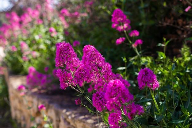 Natuurlijke bloemen. paarse bloemen in de tuin