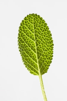 Natuurlijke close-up van verse natuurlijke organische salvia blad textuur op een witte muur met kopie ruimte.
