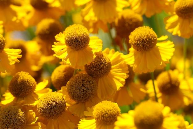 Natuurlijke gele bloemenachtergrond van bloeiende gele afrikaanse kamillebloemen
