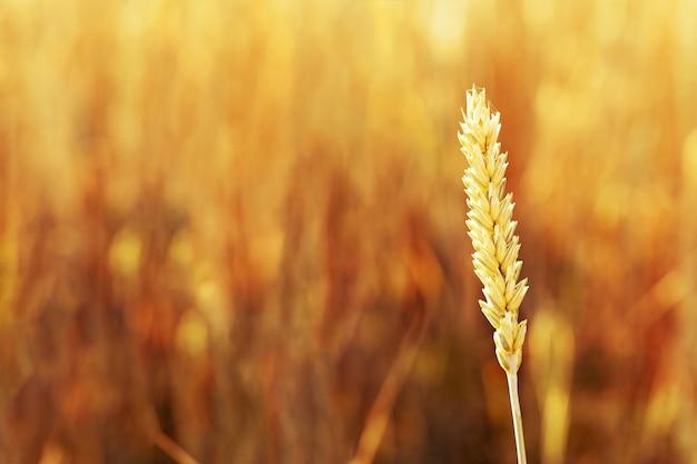 Natuurlijke gouden korenaar (close-up) in warm zonlicht. herfst oogsttijd.