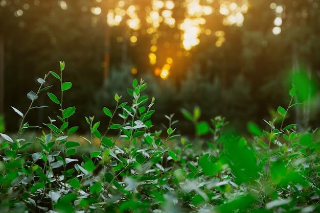 Natuurlijke groene achtergrond met bladeren in het park bij zonsondergang
