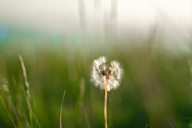 Natuurlijke groene achtergrond van gras en een eenzame pluizige paardebloem