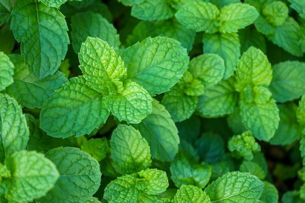 Natuurlijke groene achtergrond van muntblaadjes