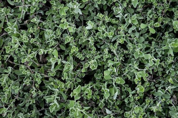 Natuurlijke groene bladmuur, textuurachtergrond.