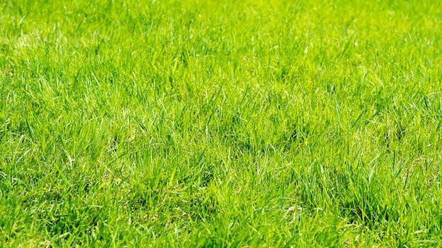 Natuurlijke groene grasachtergrond, groen gras als achtergrond voor ontwerp of achtergrond, zachte nadruk in zonneschijn.