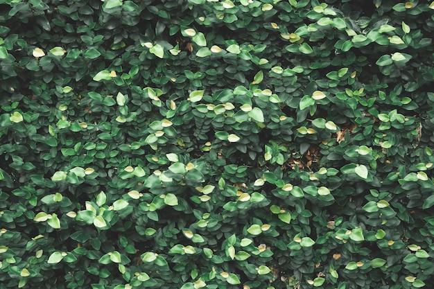 Natuurlijke groene plant muur of klein blad - groene bladeren textuur achtergrond